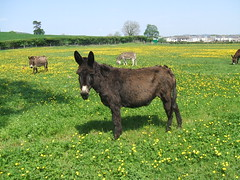 Surrounded by buttercups. (Bennydorm) Tags: england green field grass animals rural countryside donkeys pasture cumbria ulverston buttercups furness