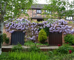 Wisteria. (jenichesney57) Tags: street trees houses windows light red brown green leaves wall garden spring doors view path peony panasonic mauve shrubs wisteria silverbirch mocktudor