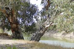 River Red Gums on the banks of the Darling River (The Pocket Rocket) Tags: australia nsw darlingriver menindee eucalyptuscamaldulensis riverredgums