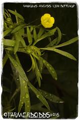 Ranunculus arvensis 'Corn Buttercup' (farmer dodds) Tags: buttercup ranunculus wildflower rare ranunculaceae ranunculusarvensis cornbuttercup