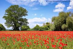 Poppies field, Umbria (ValeCrio) Tags: poppies flowers blue sky red valeriocolantoni canon flowering papaveri poppy landscape nature umbria italy