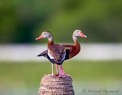 Double headed - IMG_6568-2 (arvind agrawal) Tags: duck melbourne palmtree wetlands trunk floria doubleheaded whistlingduck blackbelliedwhistlingduck birdwildlife treeduck dendrocygninae vierawelands