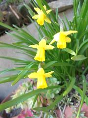 742 (en-ri) Tags: verde sony giallo narcissus narcisi sonysti