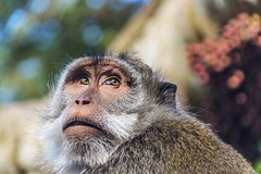 Stiller Beobachter (maikepiel) Tags: bali nature animal closeup forest monkey bokeh natur wald tier ubud affe