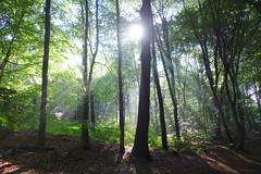 After rain comes sunshine (brittajohansson) Tags: morning trees sun plant sunshine rain forest landscape woods sunrays beech beechwood