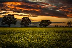 A Rapeseed Field in Gloucestershire (oliver.herbold) Tags: sunset clouds landscape oak colours sonnenuntergang outdoor wolken rape gloucestershire gloucester oaktree landschaft raps canola farben eiche rapsfeld mayhill rapeseedfield oliverherbold