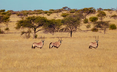 the three lone oryx (tenrry) Tags: naturaleza safari viajes kimberley sudafrica