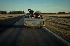 Ranchera con Perro sobre Lea en una tipica ruta bonaerense (todalacosa) Tags: perro can dog azul provinciadebuenosaires buenosaires rural ruta falcon argentina todalacosa martinbertolami