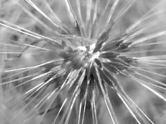 (Landanna) Tags: bw white black dandelion zwart wit sort hvid zw seedsofhope