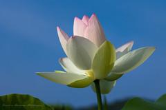 Lotus flower (Tomohiro Urakawa) Tags: lotus nagasaki