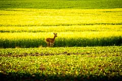 Seedorf 32.jpg (vossemer) Tags: de deutschland tiere natur pflanzen felder raps schleswigholstein landschaften blten rehe seedorf