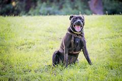DSC_4204 (lauripiper) Tags: california park portrait woman dog girl mutt rottweiler pitbull amstaff americanstaffordshireterrier nikond810