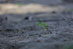 IMG_3437 (YoshGuenther) Tags: plant beach outdoors sand puertorico depthoffield pr sprout aguada gratefulsoulshostel