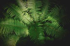Dryopteris filix-mas (mr_kuchen) Tags: leica plant fern green nature 35mm natur pflanze farn biologist dryopteridaceae wurmfarn