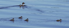 Family Outing (blindpariah) Tags: common goldeneye chicks