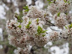 (ChihPing) Tags: japan olympus   sakura    omd    em5