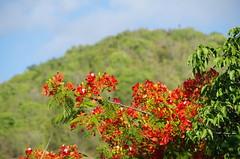 Flamboyan Tree (sarowen) Tags: flowers red orange flower tree green flowering flamboyant vieques flamboyan royalpoinciana isladevieques viequespr viequespuertorico islanena