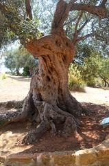 Valley of the Temples - ancient olive tree (Sussexshark) Tags: holiday sicily vacanza sicilia agrigento valledeitempli olivetree valleyofthetemples 2016