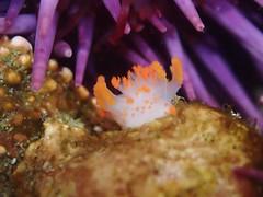 Yaquina Head tide pools, sea clown nudibranch (BLMOregon) Tags: tide pacificocean newport pacificnorthwest oregoncoast tidepools tidepool pacificcoast yaquina