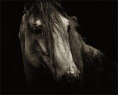 Jas (me*voil) Tags: portrait bw horse stallion andalusian jasminero