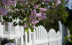 View from the Other Side (~DGH~) Tags: canada fence spring edmonton may alberta whitepicketfence lilacs 2016 fencefriday ~dgh~ smcpentaxda50mmf18 pentaxk50