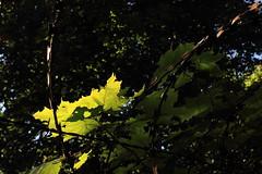 Stacheldraht (Rdiger Stehn) Tags: germany deutschland europa natur pflanzen zaun bltter baum schleswigholstein gegenlicht stacheldraht 2000s norddeutschland 2016 mitteleuropa ahorn altenholzstift altenholz 2000er canoneos550d