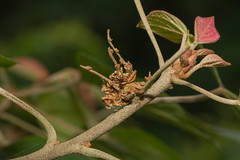 IMG_7264 disguise/ larva (vlee1009) Tags: june moth  larvae larva    2016  60d