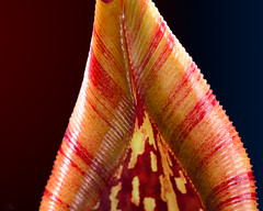 Nepenthes maxima peristome (Hejemoni (@fbauzonx on Instagram)) Tags: red plant color macro texture nature pattern gardening reds lowkey carnivorous nepenthes carnivorousplant strobist