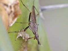 Odontoloxozus longicornis (carlos mancilla) Tags: insectos flies moscas raynoxdcr250 olympussp570uz odontoloxozuslongicornis