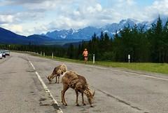 Past the Pointy Goats (Downhillnut) Tags: mountains calgary race kananaskis longview relay nakiska 2016 crr 100miles relayteam 10runners calgaryroadrunners