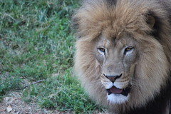 African Lion (kylennadine) Tags: africa cats nature saint animal animals cat photography zoo louis big feline african wildlife lion lions felines lioness zoos lionesses