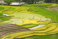 Rice fields on terraced of Tu Le, YenBai, Vietnam. (:: Focus Studio ::) Tags: china county morning travel light food cloud house mountain plant green tourism nature field yellow cat landscape asian colorful asia village rice paddy terrace earth farm traditional country philippines cottage harvest culture ground line vietnam soil hut valley plantation land rough agriculture patchwork curve ethnic horticulture saigon sapa laocai regulation