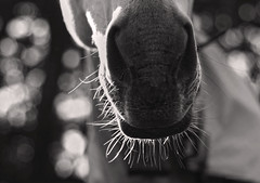 Mighty lips_c (gnarlydog) Tags: horse abstract detail closeup bokeh australia backlit manualfocus shallowdepthoffield vintagelens smctakumar50mmf14 adaptedlens speckledhighlights