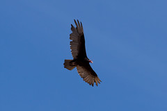 Turkey Vulture (jbp274) Tags: sky bird flying wildlife vulture