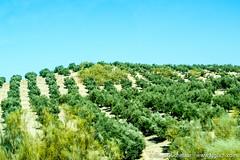 DSCF9981 (Klaas / KJGuch.com) Tags: trip travel vacation holiday sevilla spain flora europe olive seville granada olives fujifilm traveling olivetrees ilovespain southofspain xpro2 kjguchcom