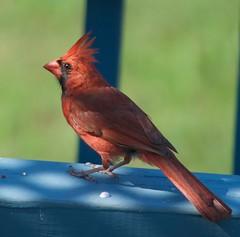 Northern Cardinal (King Kong 911) Tags: cardinal nikon d5000 birds mocking finch nuthatcher