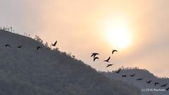 DSC_0026 (rachidH) Tags: nepal lake mountains nature birds pokhara fewa phewa annapurna himalayas oiseaux rachidh