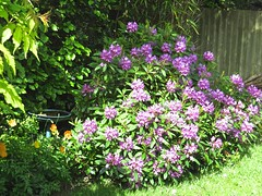 1406 Rhododendron (Andy panomaniacanonymous) Tags: 20160527 fff flowers gardenflower ggg pink ppp rhododendron rrr