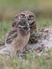 Burrowing Owls (ruthpphoto) Tags: bird owl burrowingowl