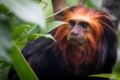 Golden-headed Lion Tamarin, River Safari, Singapore (_paVan_) Tags: monkey singapore tamarin singaporezoo goldenheadedliontamarin riversafari