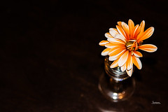 Stripes 168 / 366 Project    [added to EXPLORE for June 16, 2016]] (Tina Dean) Tags: orange stripes daisy dyes 365project 366project tinadean imagesfromtheshutter tmdean tinagfw tinamdean 366project2016 365project2016