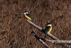 KIngfishers - Todirhamphus sanctus (mpp26) Tags: newzealand bird wildlife estuary kingfisher perch todirhamphussanctus