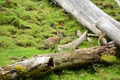 Cornered!!! (Reed 1949) Tags: rabbits animal field pasture logs grass hillside woodland woodlandparkzoo seattle washington bunnys nikon nikond5200 tamron18270