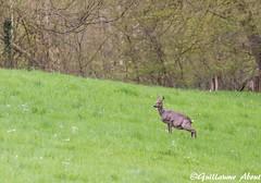 Pause pipi pour la future maman (explored) (Guillaume About) Tags: canon deer chevreuils explored chevrettes