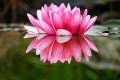 (jeeget) Tags: xt1 fujifilm reflet nnuphars lotus fleur bassin