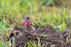 Linotte mlodieuse  (Jacques GUILLE) Tags: bird oiseau cardueliscannabina commonlinnet linottemlodieuse fringillids passriformes