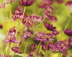 Garden of Delight (charhedman) Tags: red flower macro green garden vandusengardens