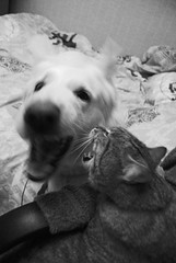 Battle of the B (Nicolas.Wonka) Tags: dog chien animal animals cat fun fight chat play battle combat animaux jeu jeux jouer battaille