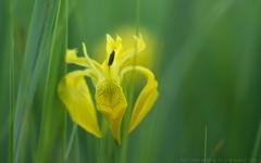Iris pseudoacorus - Sumpfschwertlilie (wimmerralf) Tags: iris pseudoacorus iridaceae sumpfschwertlilie moor gewsser feuchtwiese natur blte gelb einkeimblttrige summicronr 50mm lumixgx7 bayern oberbayern deutschland biotop