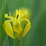 Iris pseudoacorus - Sumpfschwertlilie thumbnail